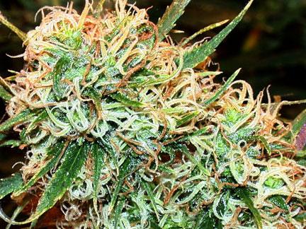 marijuana-photo14