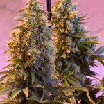 marijuana-photo16