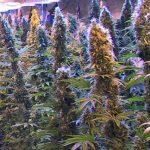 marijuana-photo17
