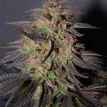 marijuana-photo19
