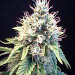 marijuana-photo2