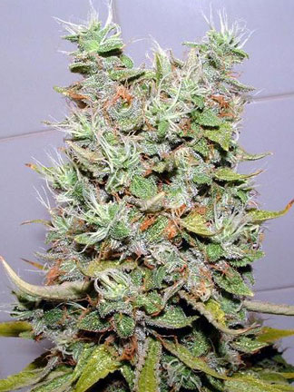 marijuana-photo20