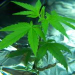 marijuana-photo6