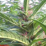 marijuana-photo8
