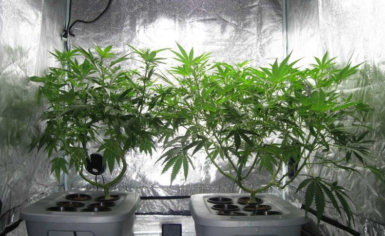 Hydroponic Cannabis Cultivation